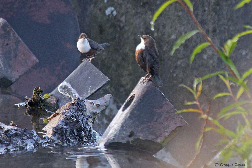 Herbstbalz bei den Wasseramseln....am 17.09.17 Foto: Gregor Zosel