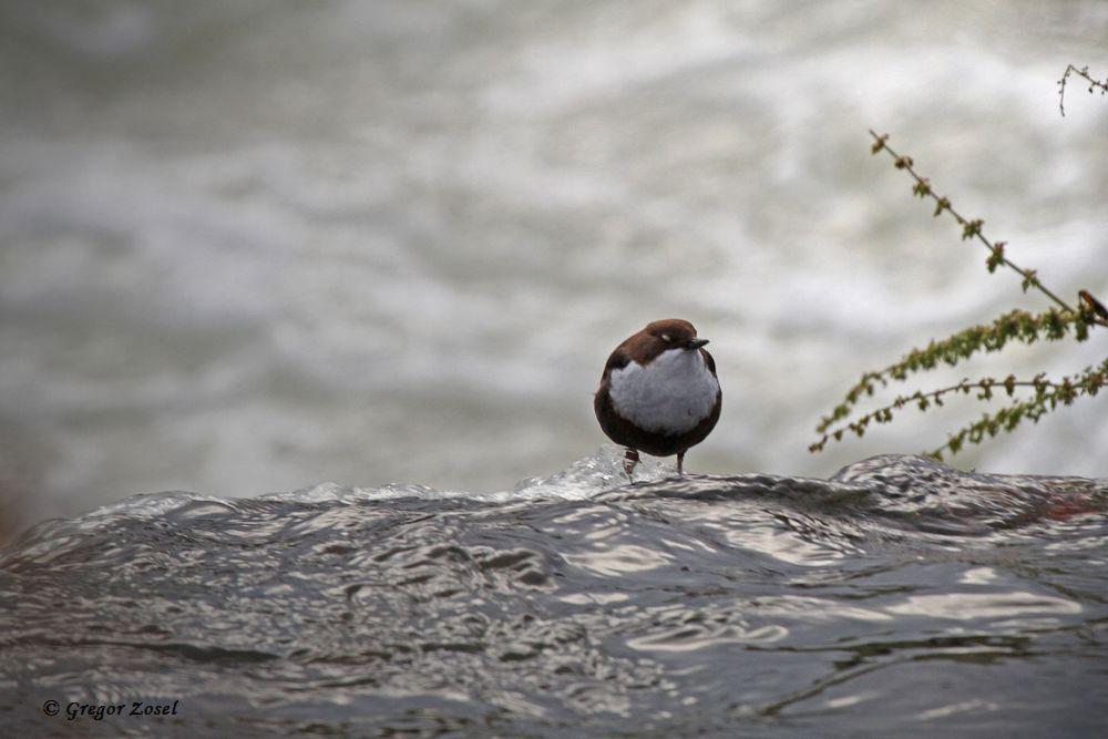 Diese Wasseramsel stand als erster Vogel auf meiner Liste am heutigen Vormittag. Sie sang am Dachwehr am Himmelmann Park....am 17.12.17 Foto: Gregor Zosel
