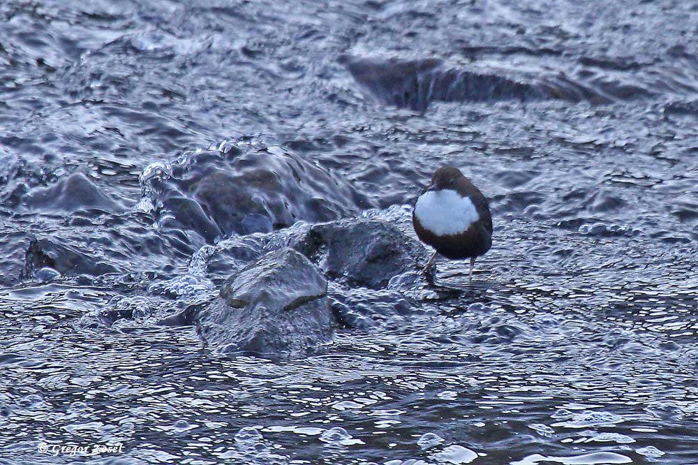 Wasseramsel im NSG Ruhraue.....am 22.01.17 Foto: Gregor Zosel