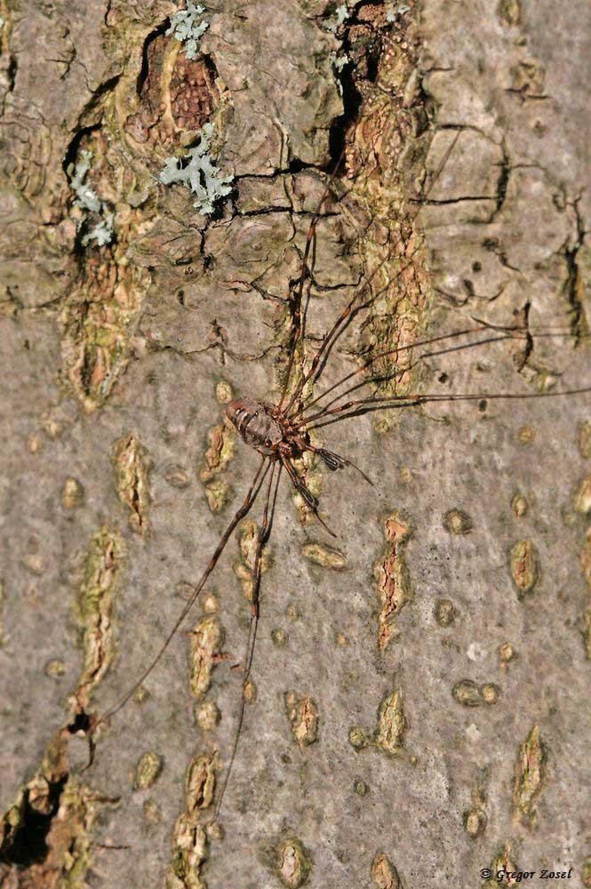 Am Ostrand der Kiebitzwiese entdeckte ich diesen Dicranopalpus ramosus. Die Weberknechtart wurde Anfang des letzten Jahrhunderts in Marokko beschriebenen; hat sich dann im Laufe der Zeit über den westmediterranen Raum nach Norden ausgebreitet. Dicranopalpus ramosus wurde in  Deutschland  erstmals 2004 nachgewiesen. Wie häufig er in Fröndenberg vorkommt, wird sich in den nächsten Jahren bei einer geplanten Spinnenkartierung zeigen.......am 04.11.17 Foto: Gregor Zosel