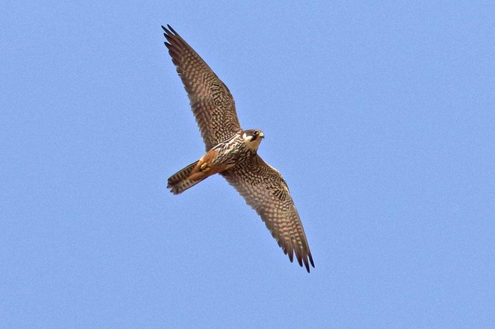 Bis heute blieb die Baumfalkenbrut im Hammer Wasserwerk unentdeckt.Hier ein Altvogel.....am 23.08.18 Foto: Bernhard Glüer
