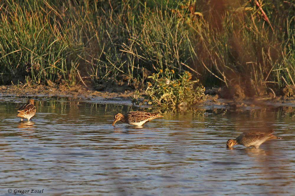 Drei Bekassinen suchten im Flachwasser eines Seitengewässers nach Nahrung......am 19.09.18 Foto: Gregor Zosel