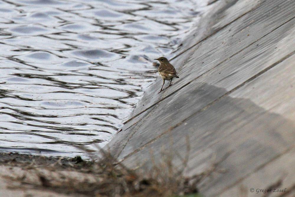 Der einzelne Bergpieper des Wasserwerks....am 28.11.18 Foto: Gregor Zosel