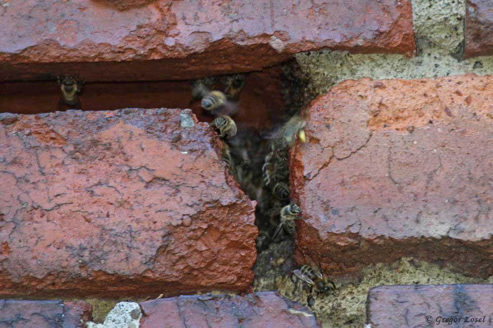 In den Nischen im Mauerwerk der Scheune haben sich wieder Bienen eingenistet.....am 25.07.18 Foto: Gregor Zosel