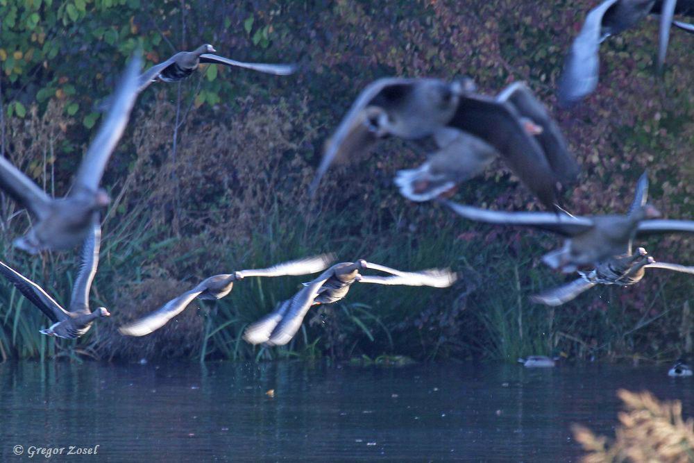 Wie erwartet, flogen später nach und nach die Gänse in einzelnen Trupps los zu den Futterplätzen oder anderen Gewässern. Vielleicht sind es ja die Gänse, die sich jeden Morgen in Richtung Fröndenberg auf den Weg machen.....am 21.10.18 Foto: Gregor Zosel