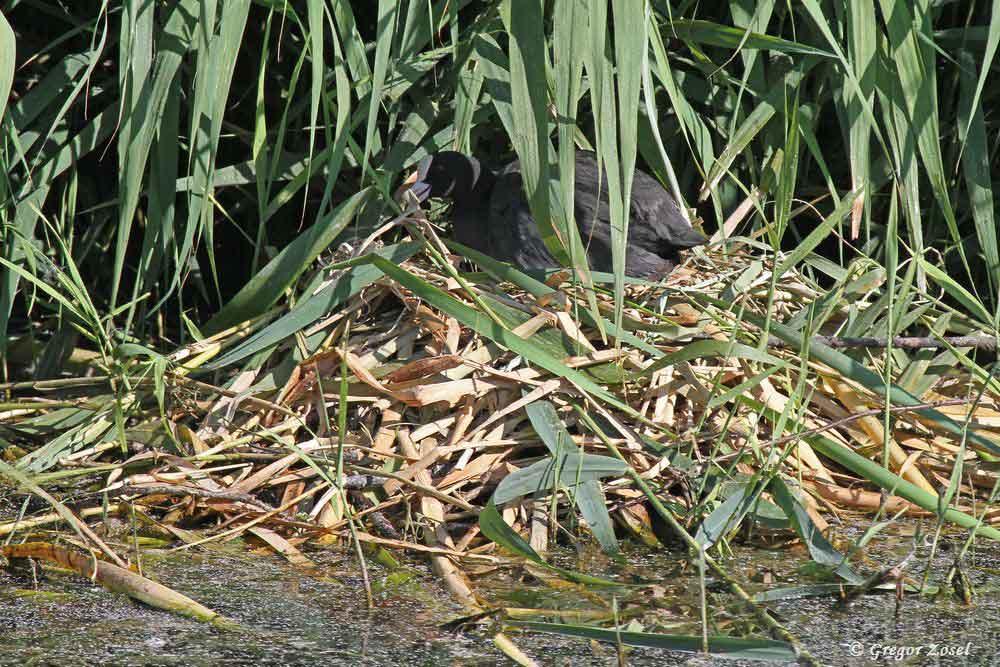 Da hat die Blässralle aber mal ein kunstvolles Nest gebaut!......am 18.07.18 Foto: Gregor Zosel