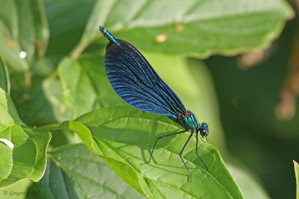 Auch in diesem Jahr steht die Blauflügel-Prachtlibelle wieder auf der Artenliste der Kiebitzwiese. Heute flogen 2 Männchen am Neimener Bach nahe des Aussichtshügels......am 29.05.18 Foto: Gregor Zosel