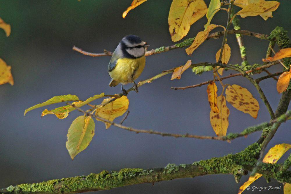 Die Blaumeise war heute mit Abstand die häufigste Vogelart entlang meines Weges.....am 15.11.18 Foto: Gregor Zosel