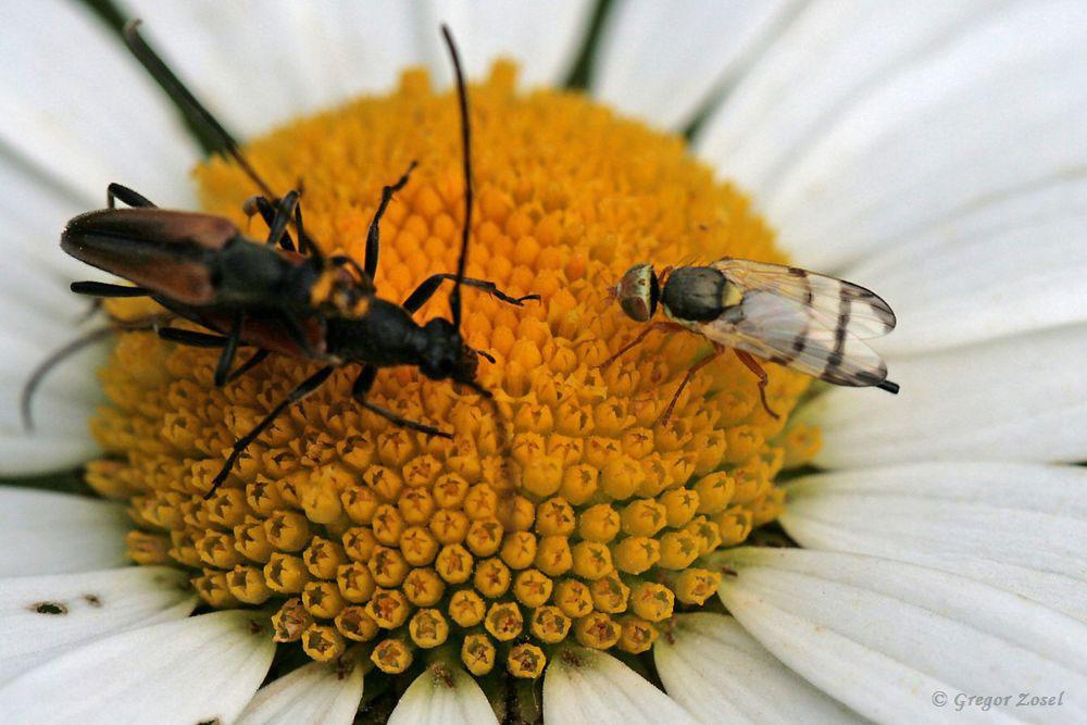 Die beiden Kleinen Schmalböcke, die gerade für Nachwuchs sorgen, lassen sich von dieser Bohrfliege Urophora stylata nicht stören....am 31.05.18 Foto: Gregor Zosel