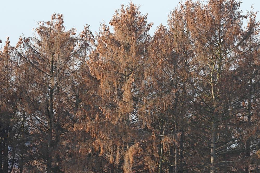... Wassermangel und Hitze haben viele Fichten im zurückliegenden Sommer derart geschwächt, dass sie leichte `Beute´ von Borkenkäfern wurden (hier ein komplett abgestorbener Bestand bei Frdbg.-Bausenhagen), 18.12.2018 Foto: Bernhard Glüer