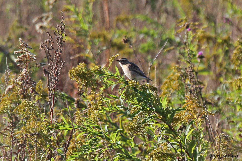 Braunkehlchen in einer Naturschutzfläche......am 25.09.18 Foto: Gregor Zosel