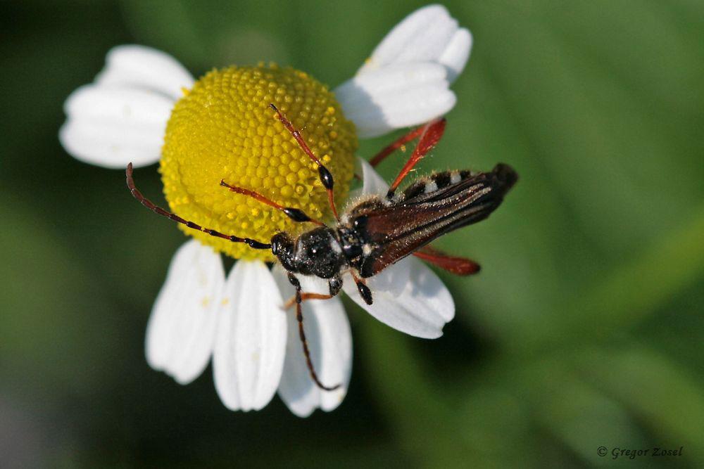 Der Braunrötliche Spitzdeckenbock (Stenopterus rufus) ist auch ein farbenfrohes Insekt am Rande der Kiebbitzwiese.....am 11.06.18 Foto: Gregor Zosel