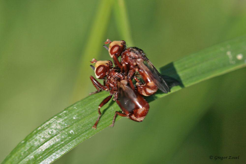 Liebesleben der Gemeinen Breitstirnblasenkopffliege Sicus ferrugineus....am 11.06.18 Foto: Gregor Zosel
