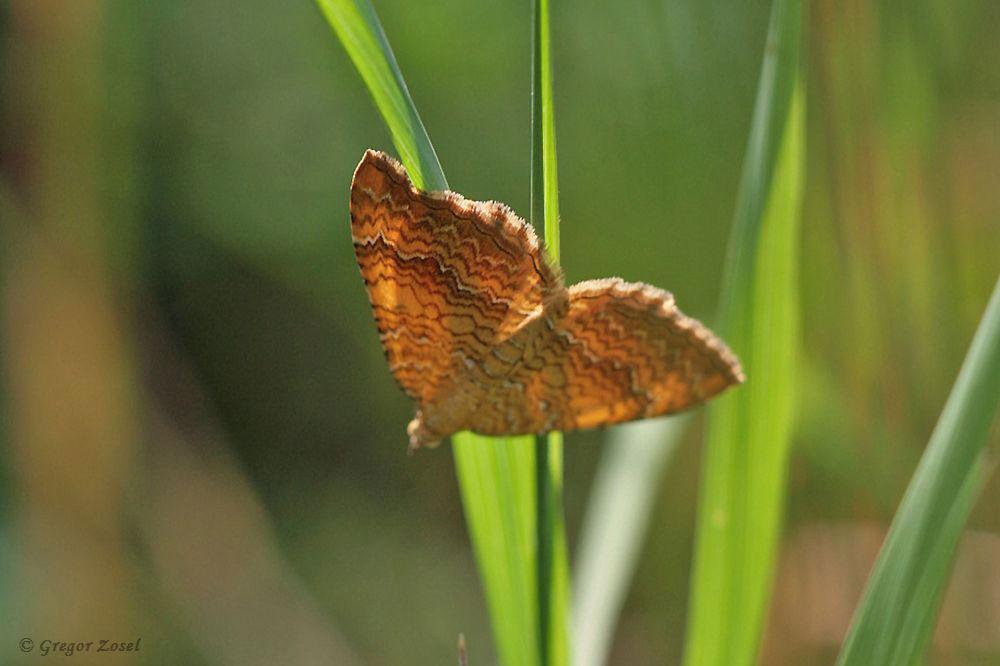 Der Brennesselspanner Camptogramma bilineata ist auf Grund seiner Färbung auch als Ockergelber Blattspanner bekannt....am 31.05.18 Foto: Gregor Zosel