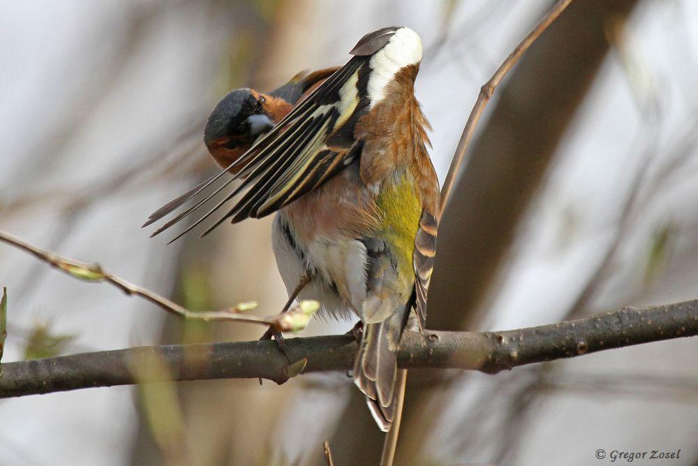Buchfink bei der Gefiederpflege. Zuerst der linke Flügel....am 09.04.18 Foto: Gregor Zosel