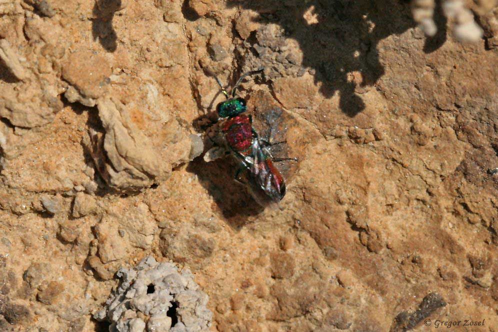 Aber dazwischen kann man auch die Bunte Goldwespe Chrysis viridula entdecken.......am 26.05.18 Foto: Gregor Zosel
