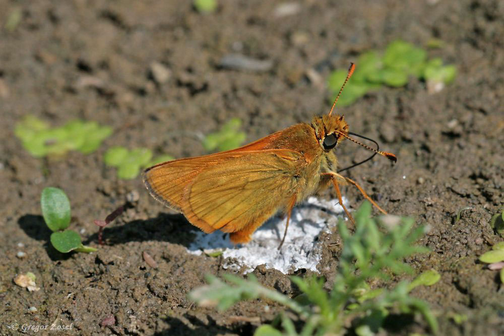 Die Rostfarbigen Dickkopffalter Ochlodes sylvanus suchten immer wieder Vogelexkremente auf, wohl um Mineralien aufzunehmen ......am 26.05.18 Foto: Gregor Zosel