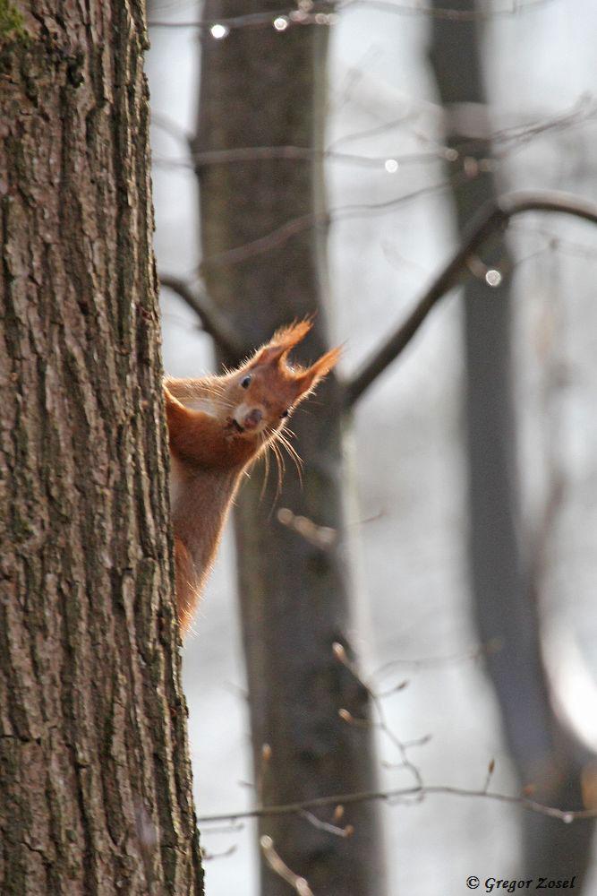 Auch ein Eichhörnchen guckt mal um die Ecke.......am 31.03.18 Foto: Gregor Zosel