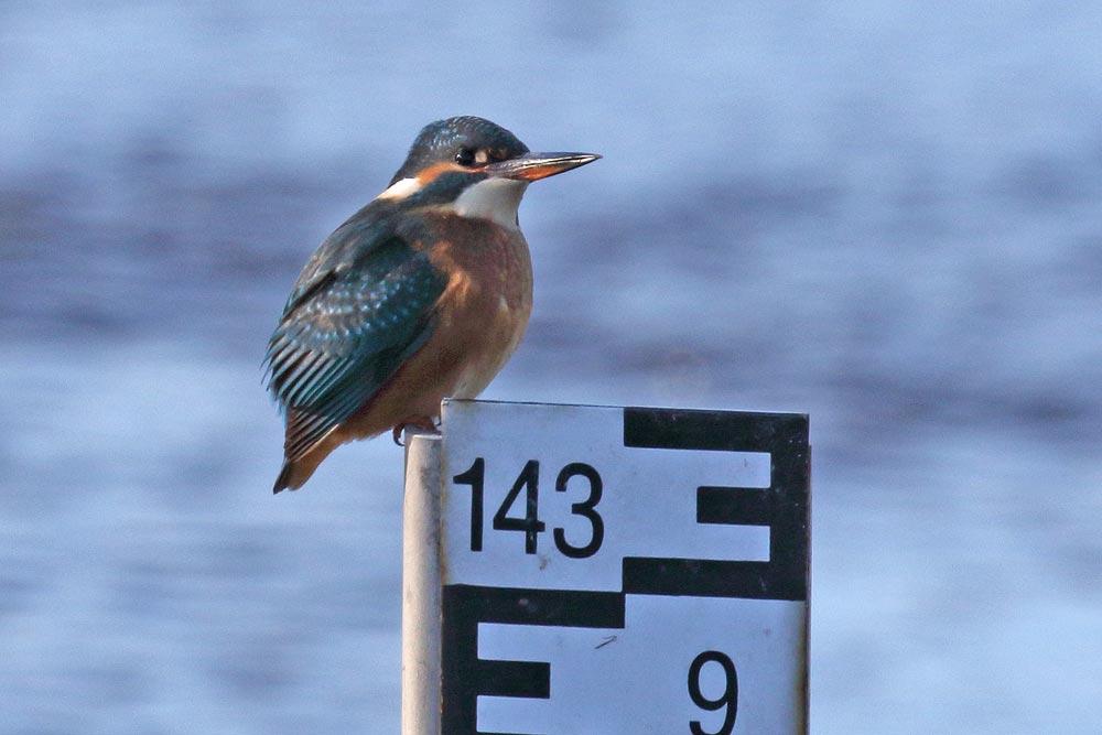 Der helle Unterschnabel kennzeichnet diesen Eisvogel als weiblich (Wassergewinnungsgelände / Echthausen) ..., 18.11.2018 Foto: Bernhard Glüer