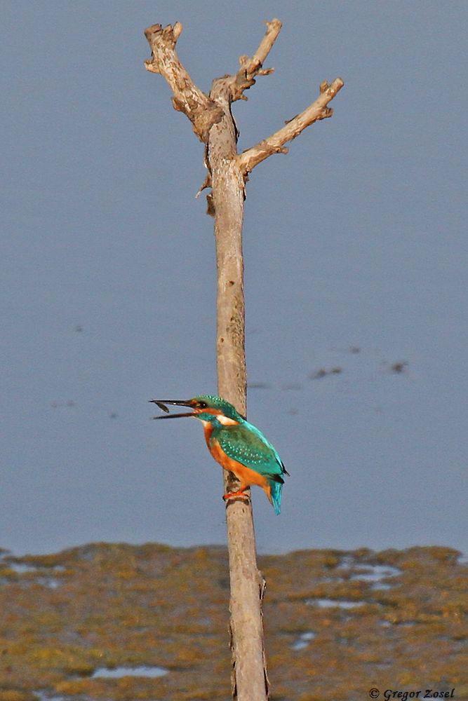 Durch Hochwerfen wird der Fisch in die richtige Position gebracht, um ihn ohne Beschwerden verschlucken zu können.....am 20.09.18 Foto: Gregor Zosel