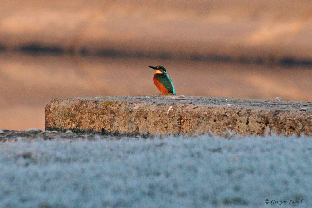 Dort wo die ersten Sonnenstrahlen die Filterbecken langsam erreichen, nimmt der Eisvogel ein Sonnenbad.....am 23.11.18 Foto: Gregor Zosel