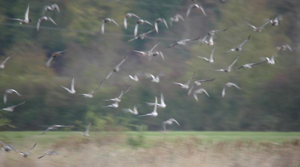 Nervöse Enten - viel zu nahn, Röllingwiese Schwerte, 28.10.2018 Foto: Hans Joachim Göbel