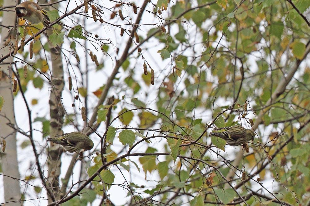 Erlenzeisige mit Distelfink beim Ernten von Birkensamen - Erlen haben in diesem Jahr vielfach keine Früchte gebildet, 01.11.2018 Foto: Bernhard Glüer