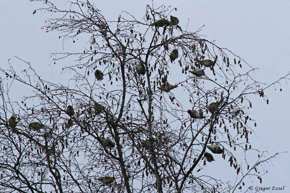 In den Baumkronen der Erlen und Birken suchen die Erlenzeisige nach den Samen der Bäume....am 05.12.18 Foto: Gregor Zosel