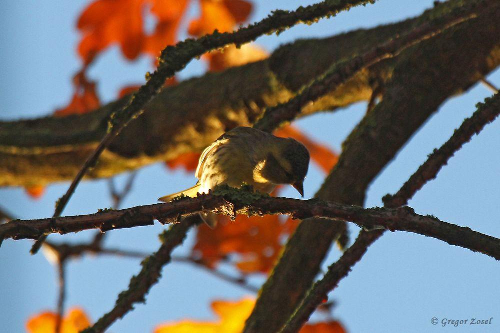 In der Morgensonne kam trotz böigem Wind Leben in die Singvogelwelt. Der Trupp Erlenzeisige im Bereich der Rammbachmündung ist auf ca. 200 Ex. gewachsen......am 28.11.18 Foto: Gregor Zosel