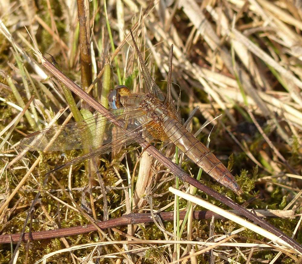 Feuerlibellen-Weibchen - erschien noch etwas weiter östlich der anderen Fotos, etwa weitere 40 Meter, Tibaum, Hamm, 14.09.2018 Foto: Horst R. Kraft