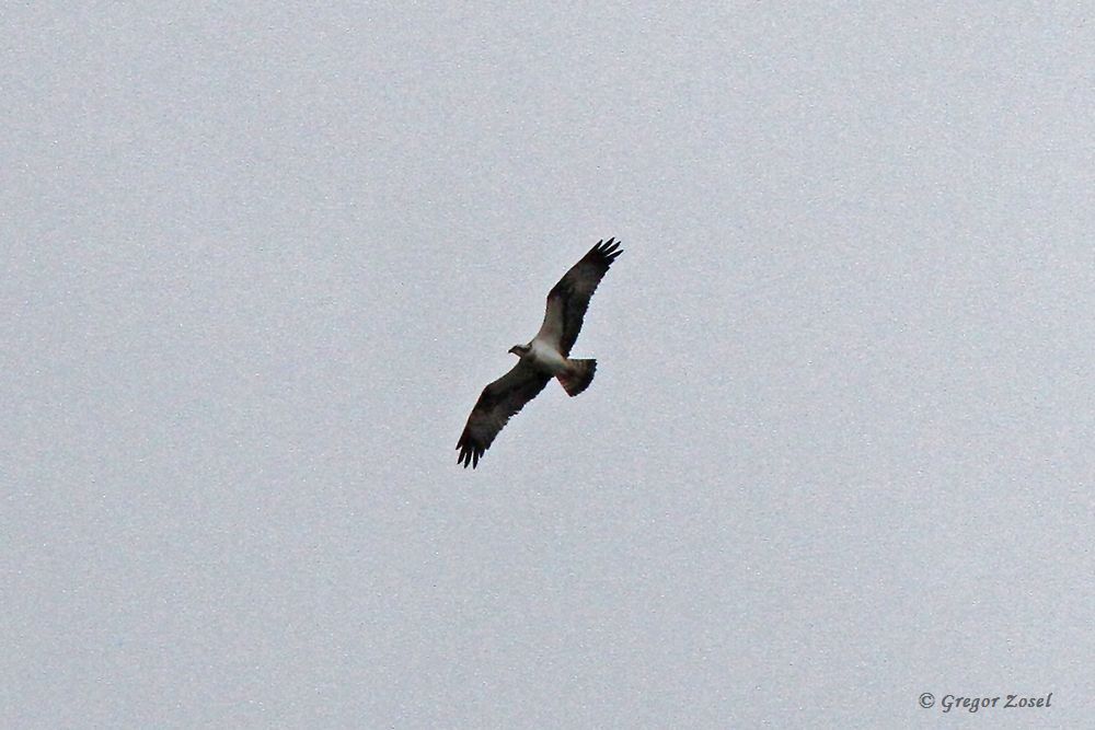 Fischadler hoch ziehend über der Ruhr am Himmelmann Park.....am 05.04.18 Foto: Gregor Zosel