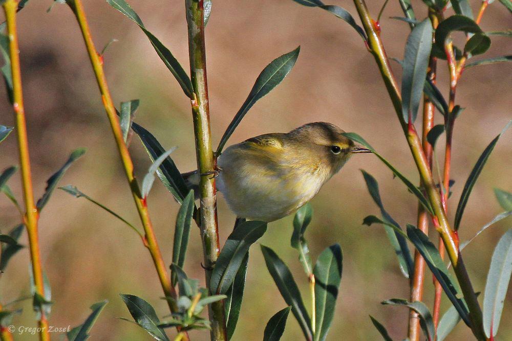 Auffällig heute wieder viele Laubsänger in den Hecken und Büschen. Meist wohl Zilpzalpe, jedoch bei diesem recht gelben Vogel mit deutlichem gelben Überaugenstreif tendierte ich eher zum Fitis....am 24.09.18 Foto: Gregor Zosel