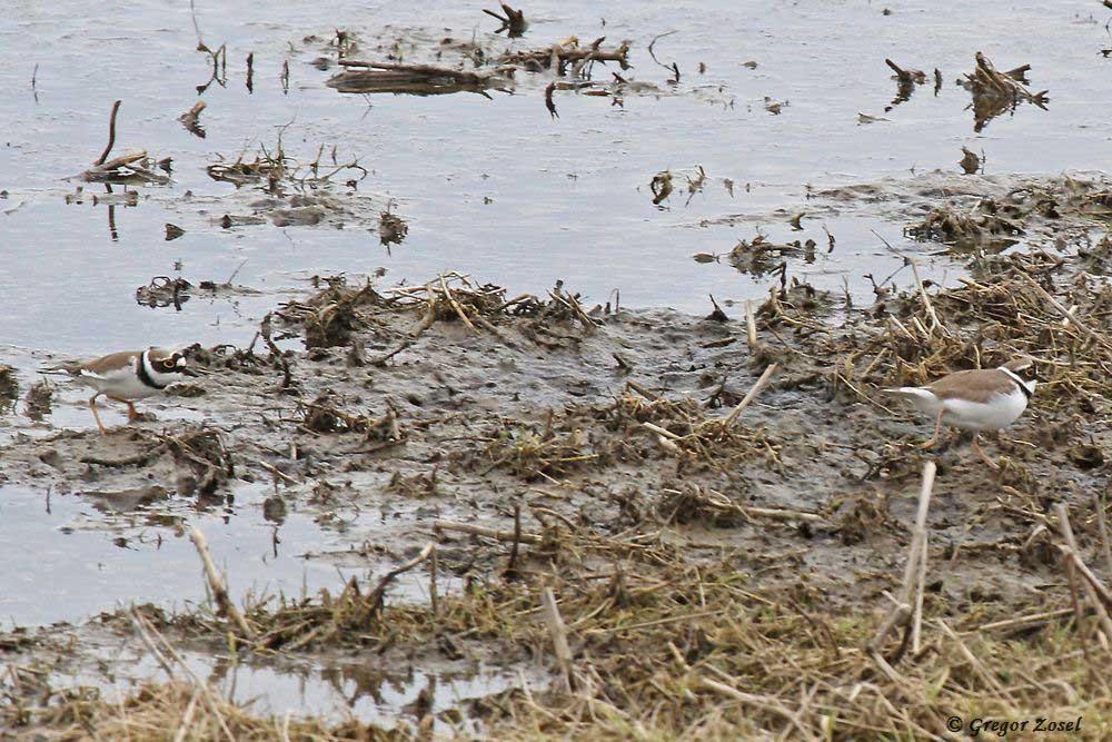 Das Jagen, was wie ein Wettlauf aussieht, gehört zur Balz der Flussregenpfeifer.....am 24.03.18 Foto: Gregor Zosel