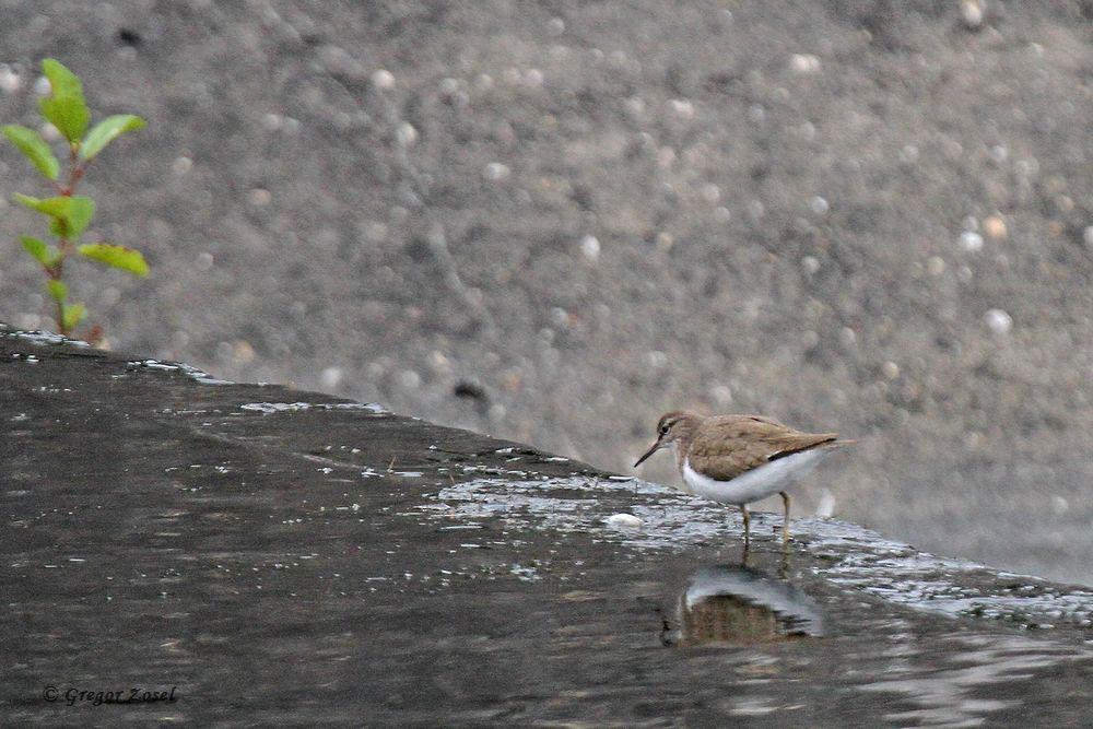 Flussuferläufer an einem Überlauf im Wasserwerk....am 20.08.18 Foto: Gregor Zosel