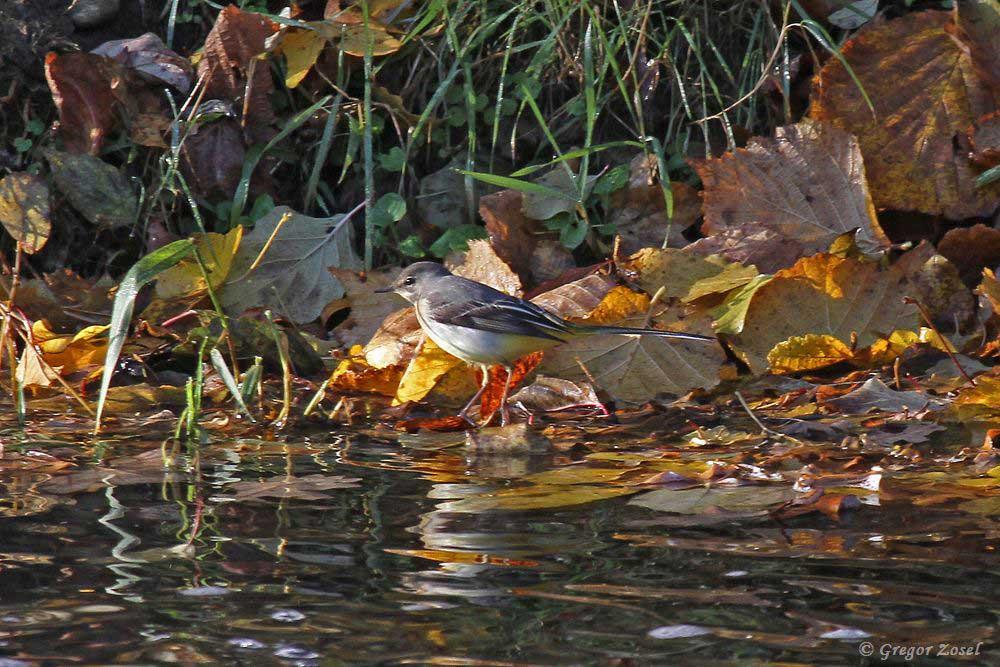 Unter den Blättern am Hönneufer sucht die Gebirgsstelze nach Insekten.....am 15.11.18 Foto: Gregor Zosel