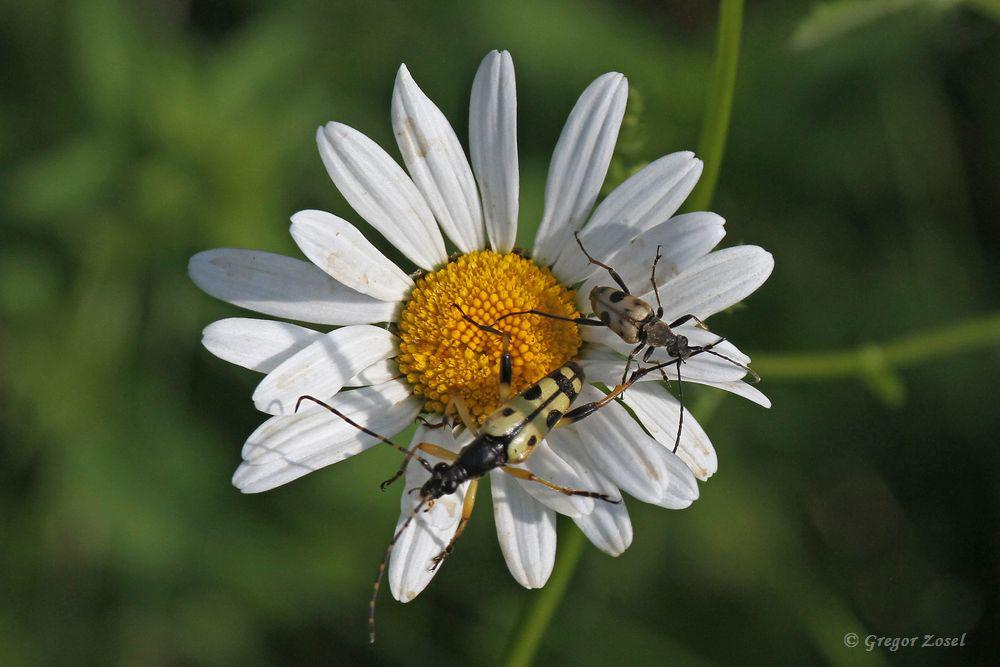 Gefleckter Schmalbock Leptura maculata  und Gefleckter Blütenbock Pachytodes cerambyciformis auf einer Margarite.....am 31.05.18 Foto: Gregor Zosel