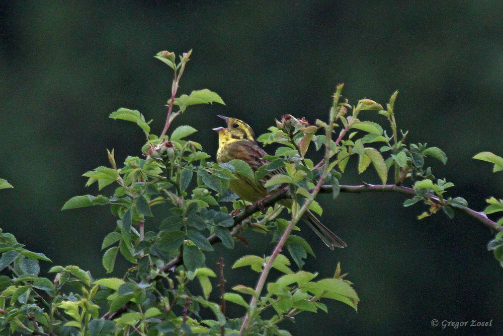 Aber gesungen wird aus höherem Gebüsch.....am 05.06.18 Foto: Gregor Zosel
