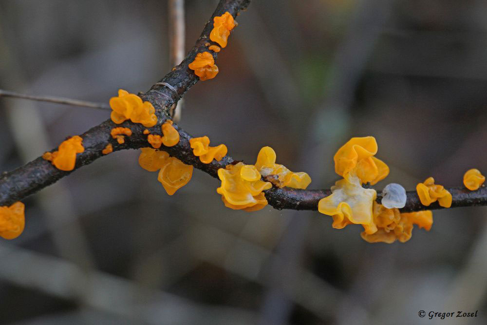 Nicht selten, aber schön, der Goldgelbe Zitterling.......am 31.03.18 Foto: Gregor Zosel