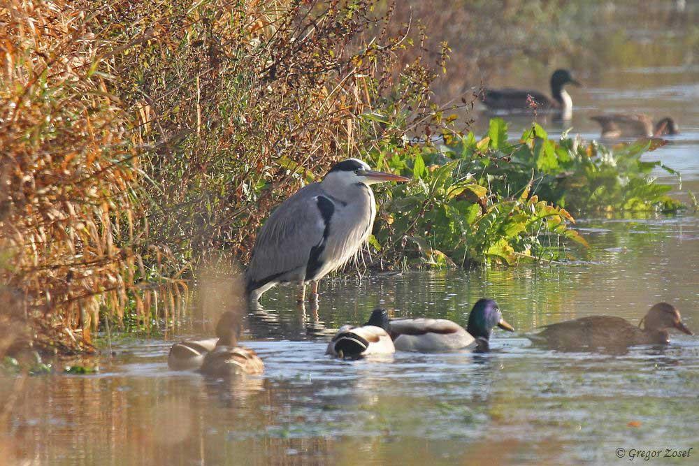 Unter den Graureihern auf der Kiebitzwiese war heute auch wieder der beringte Vogel.....am 06.11.18 Foto: Gregor Zosel