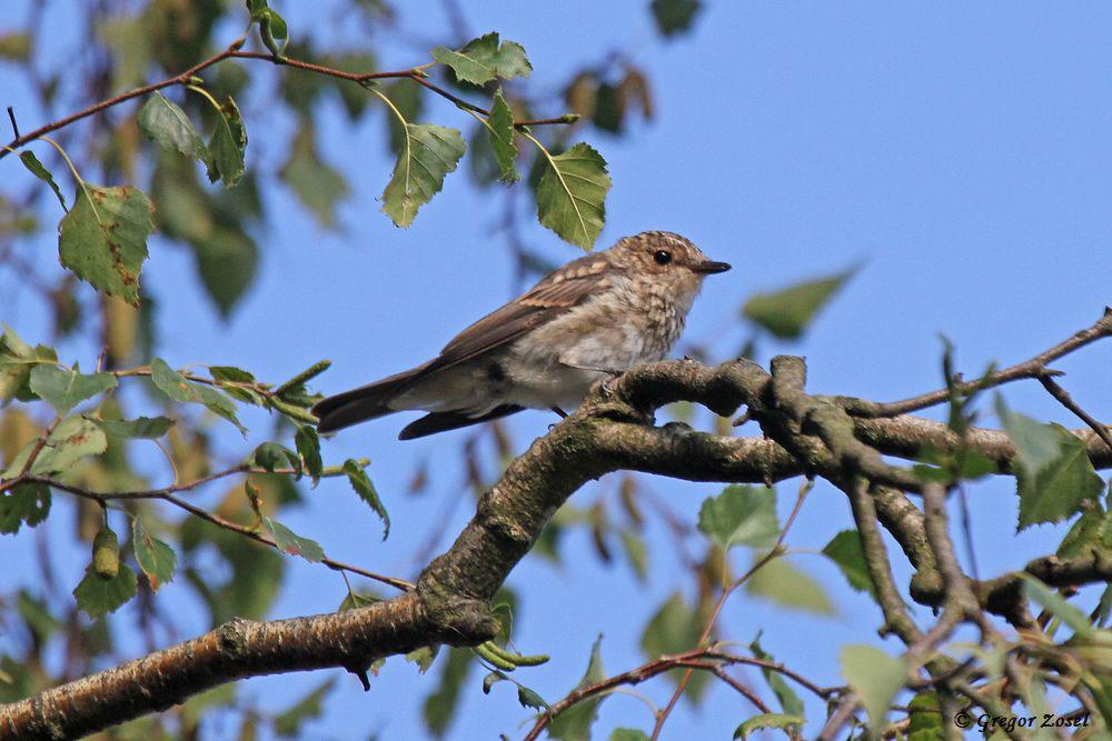 Derweil warten in einer alten Birke die flüggen Jungvögel, die teilweise noch von den Altvögeln gefüttert werfen, auf das Frühstück. ...am 15.08.18 Foto: Gregor Zosel