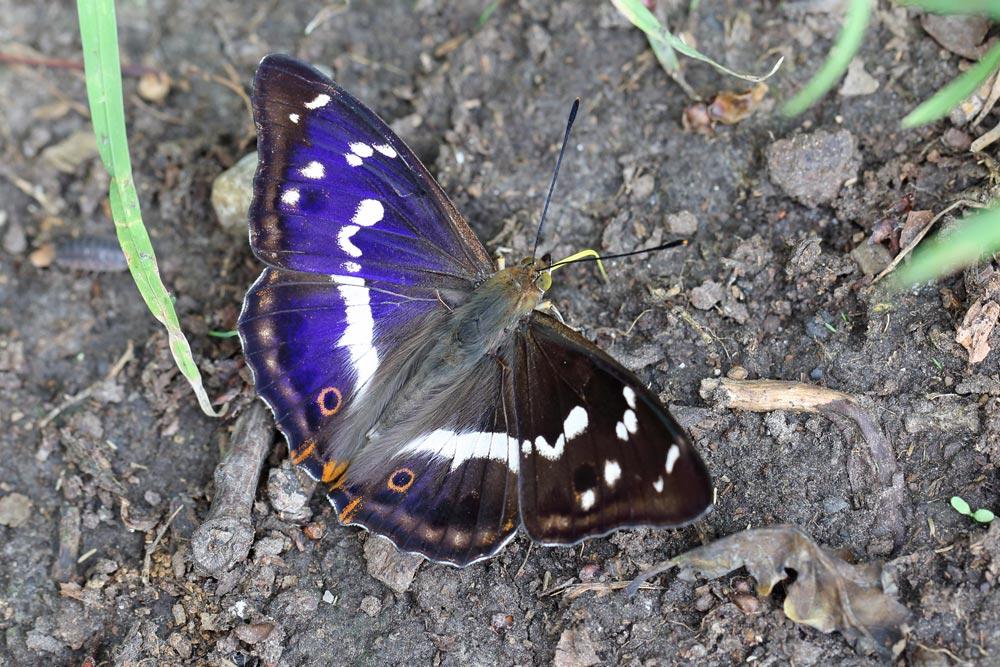 ... beim richtigen Lichteinfall zeigt das Männchen das Namen gebende schillernde Blau, 08.06.2018 Foto: Bernhard Glüer