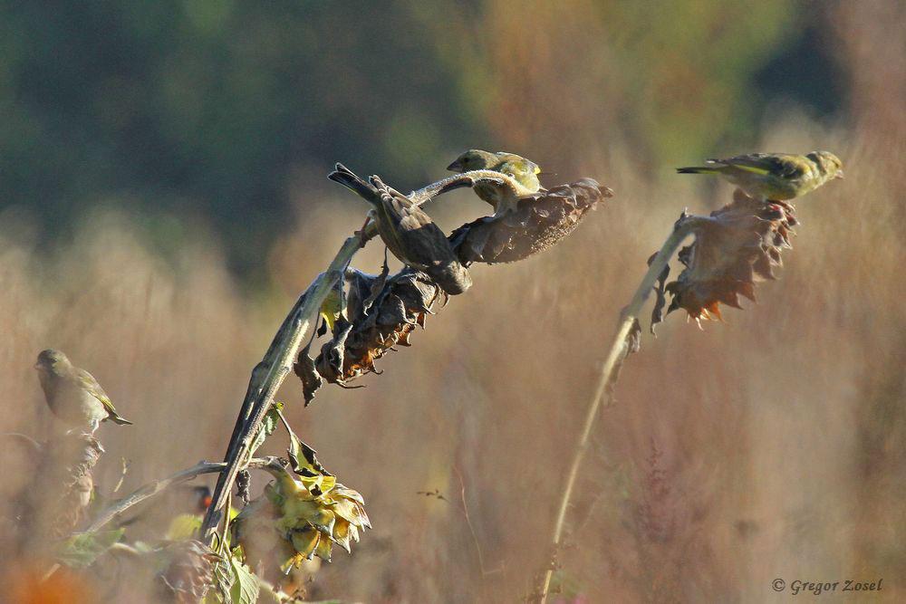 Die Naturschutzflächen sowie die Wildschutzflächen sind regelrechte Magneten für die Vogelwelt in der ansonsten tristen Feldflur......am 25.09.18 Foto: Gregor Zosel