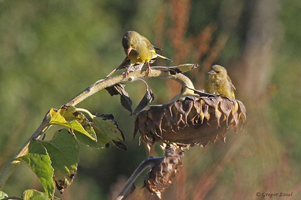 Die Sonnenblumen locken nicht nur die Grünfinken an......am 25.09.18 Foto: Gregor Zosel