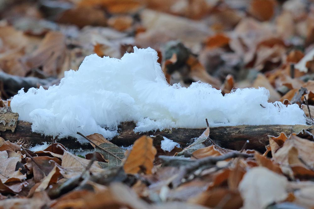 Ein seltenes Winterphänomen: Haareis (Frdbg.), das nur unter ganz bestimmten Temperatur- und Wetterbedingungen zustande kommt ..., 28.12.2018 Foto: Bernhard Glüer