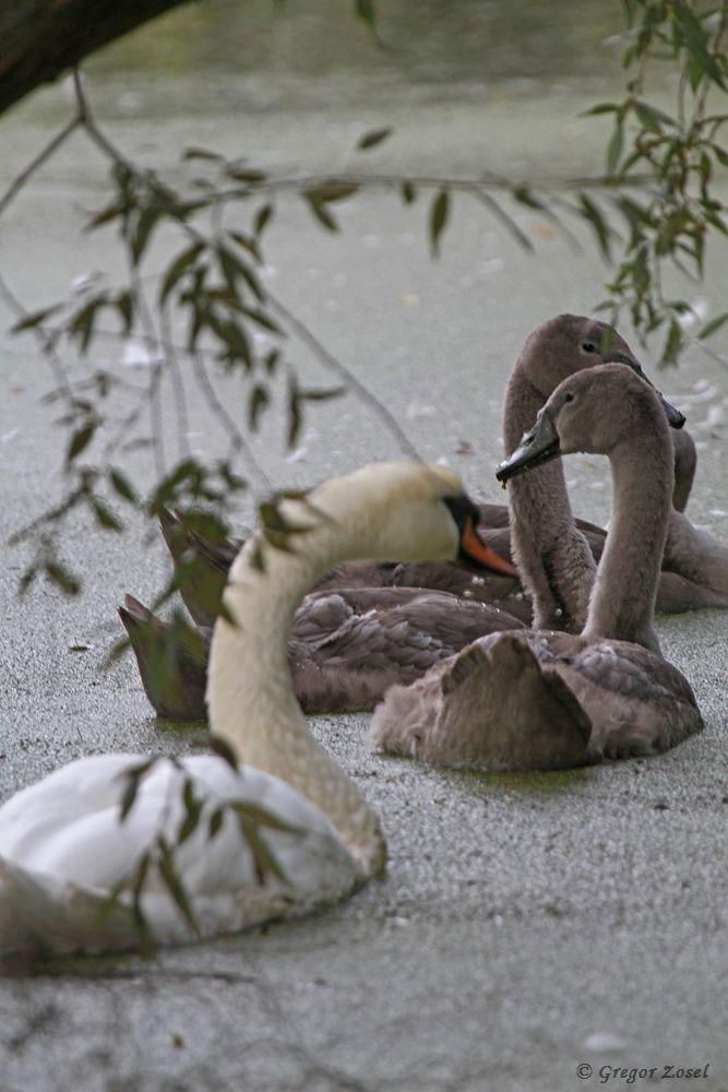 Im Himmelmann Park haben die Höckerschäne in diesem Jahr für Nachwuchs gesorgt....am 16.09.18 Foto: Gregor Zosel