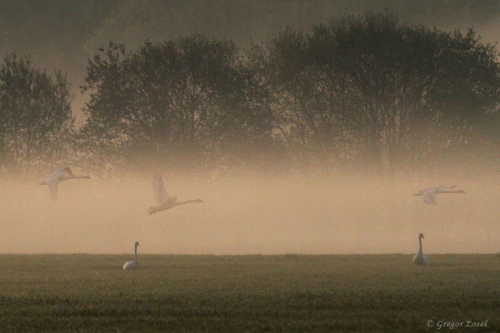 Schon bei Sonnenaufgang suchen die Höckerschwäne die Felder rings um die Kiebitzwiese auf.....am 21.04.18 Foto: Gregor Zosel