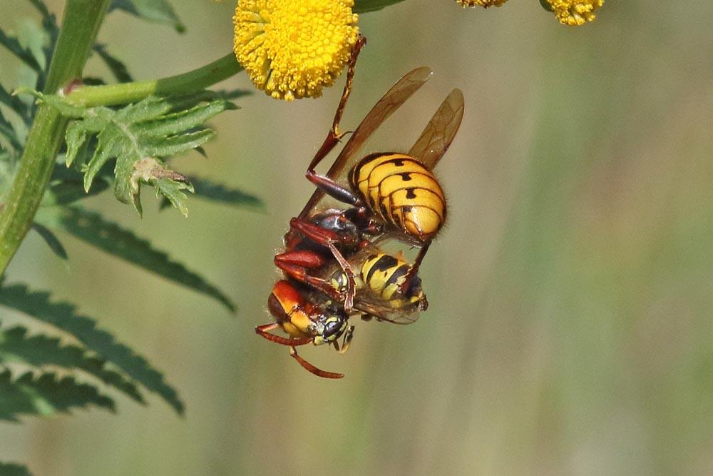 ... auch die Insektenfauna hatte heute im Wassergewinnungsgelände noch einiges zu bieten: Hornisse mit erbeuterter Wespe (vermutl. V. germanica) ..., 26.08.2018 Foto: Bernhard Glüer