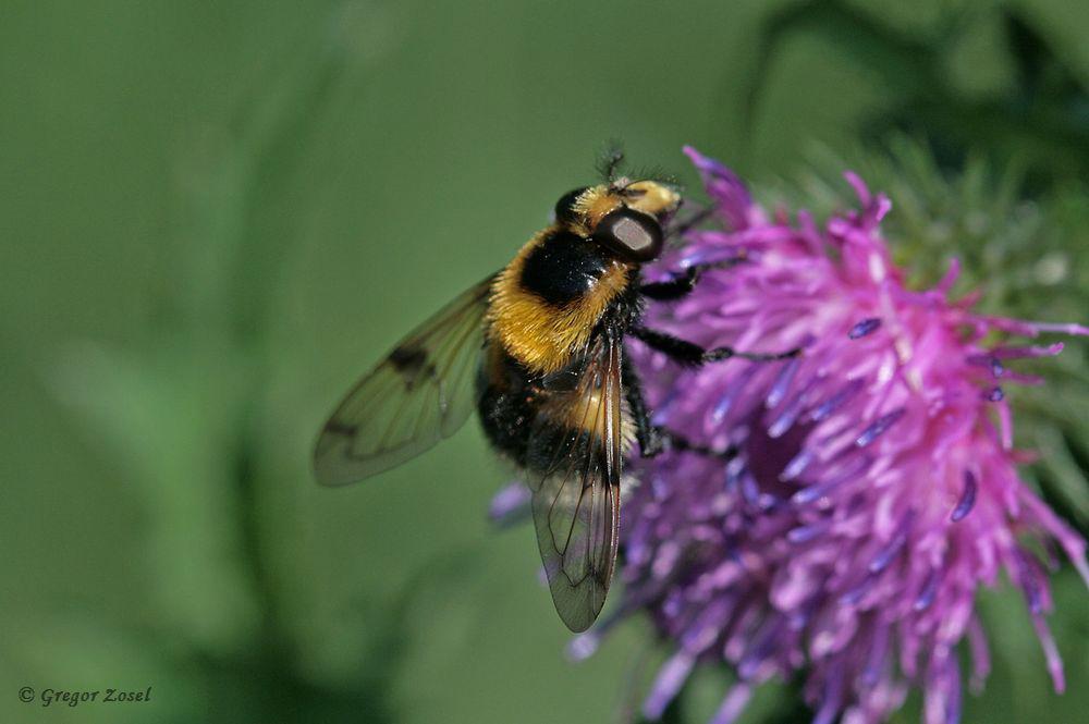 ...zum anderen die Hummelwaldschwebfliege Volucella bombylans ......am 26.05.18 Foto: Gregor Zosel
