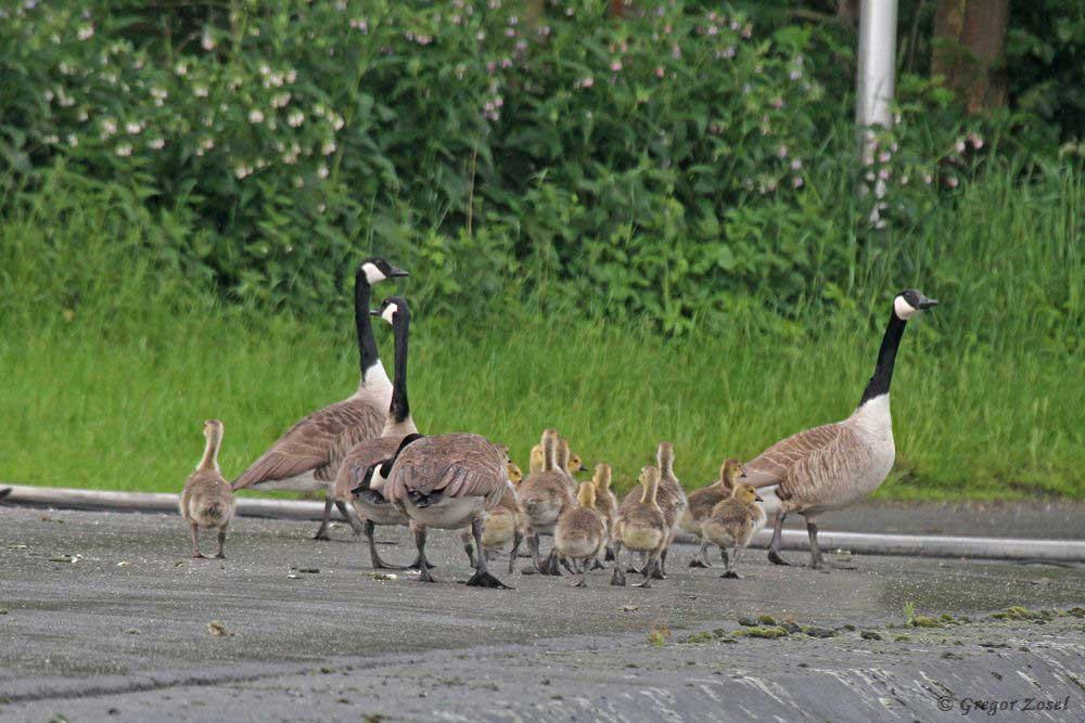Zwei Kanadagansfamilien führen gemeinsam ihren Nachwuchs aus....am 24.05.18 Foto: Gregor Zosel