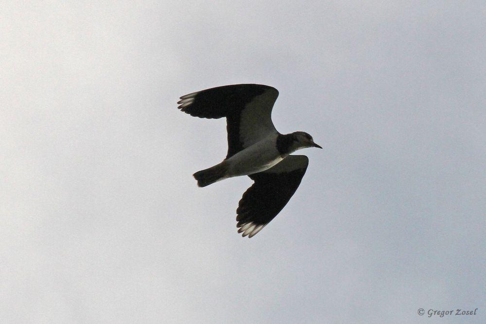 Ein einsamer Kiebitz überfliegt rufend die Kiebitzwiese.....am 02.11.18 Foto: Gregor Zosel